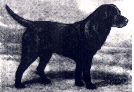 Banchory Bolo - AKC Champion all of our dogs have his lineage