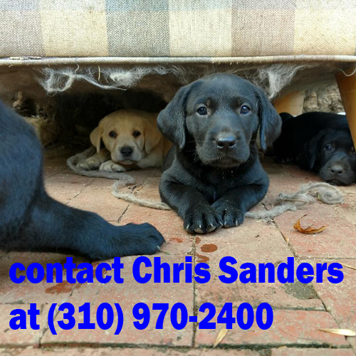 AKC Labradors in Santa Monica California contact Chris at (310) 970-2400