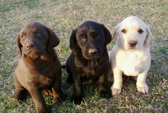 chocolate, black, and yellow are the three only acceptable labrador colors